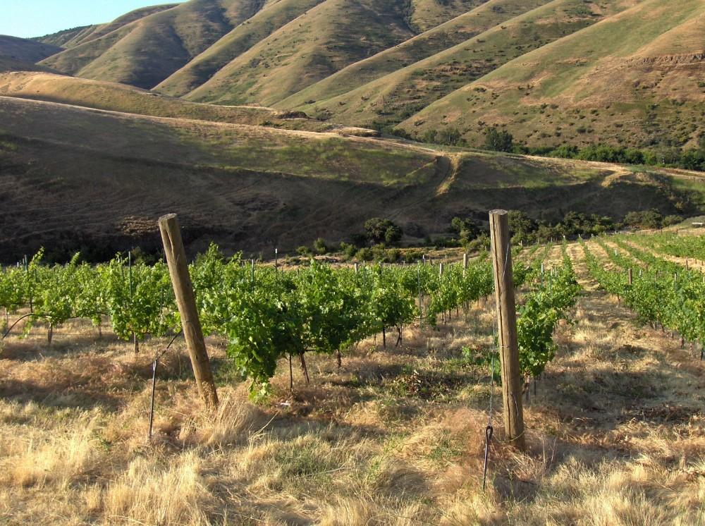 vines on hill.jpg