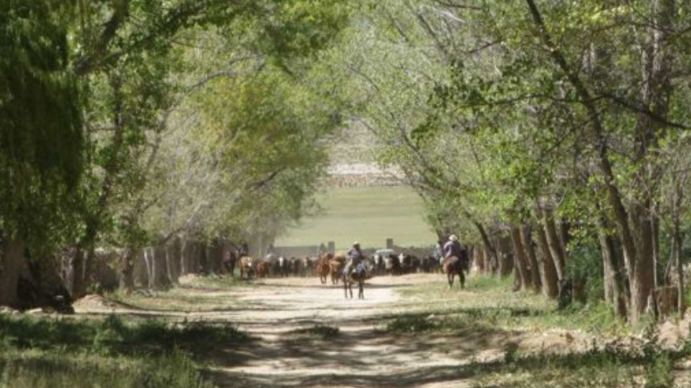 The cattle coming off the range and toward the corral. Gauchos stand guard.
