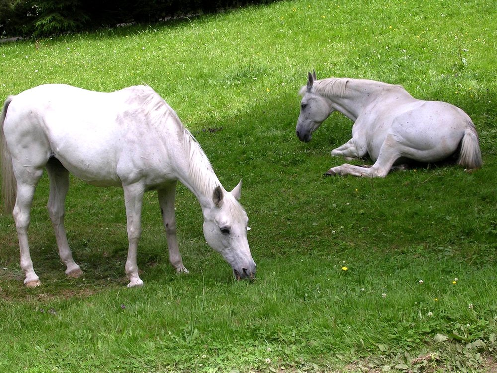 Two white horses, one grazing, one laying down