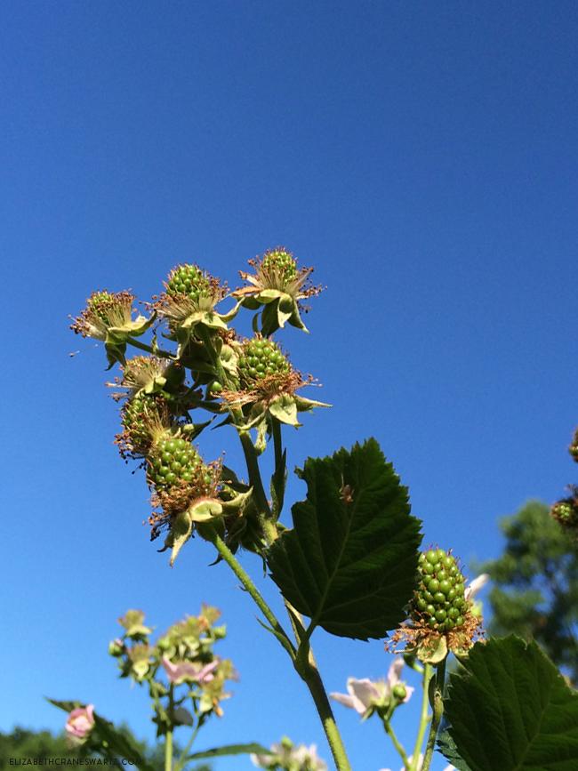 blackberries in june / elizabethcraneswartz.com