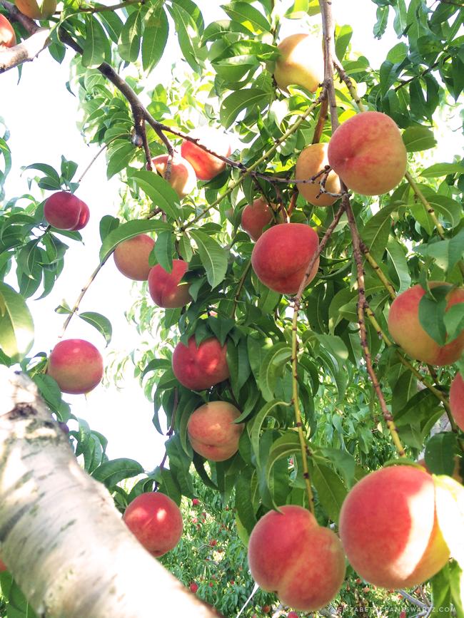 peach picking / elizabethcraneswartz.com