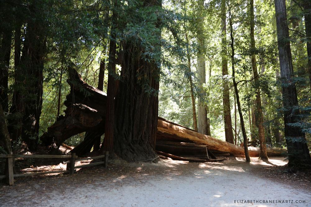 big basin redwoods / elizabethcraneswartz.com