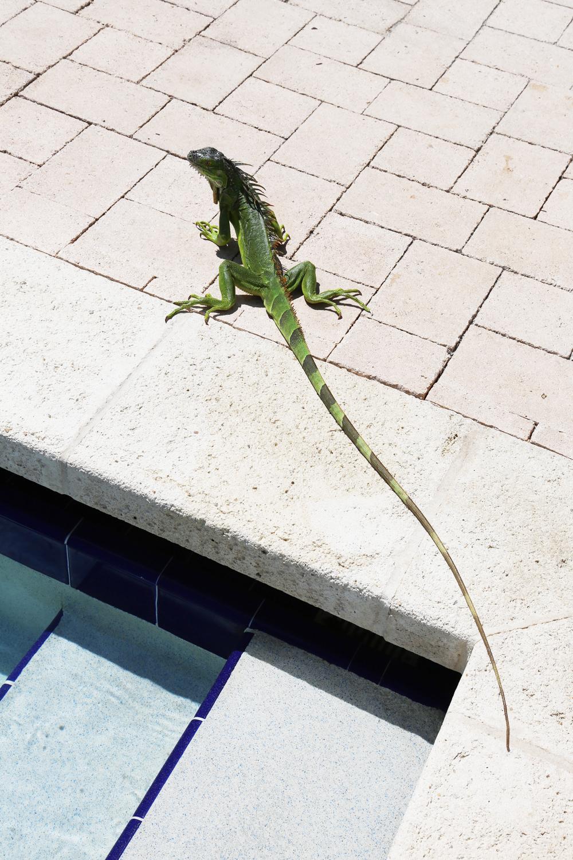 pool-iguana