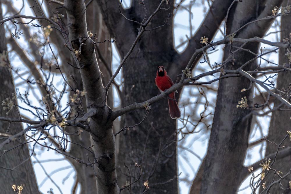 Cardinals (5 of 7).jpg