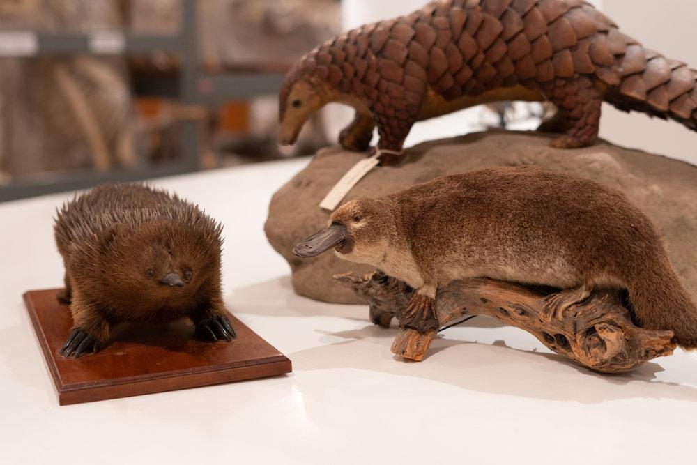 Echidna, Platypus, Pangolins