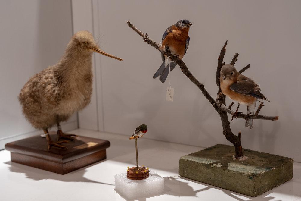 Kiwi, Hummingbird, Unknown Song bird
