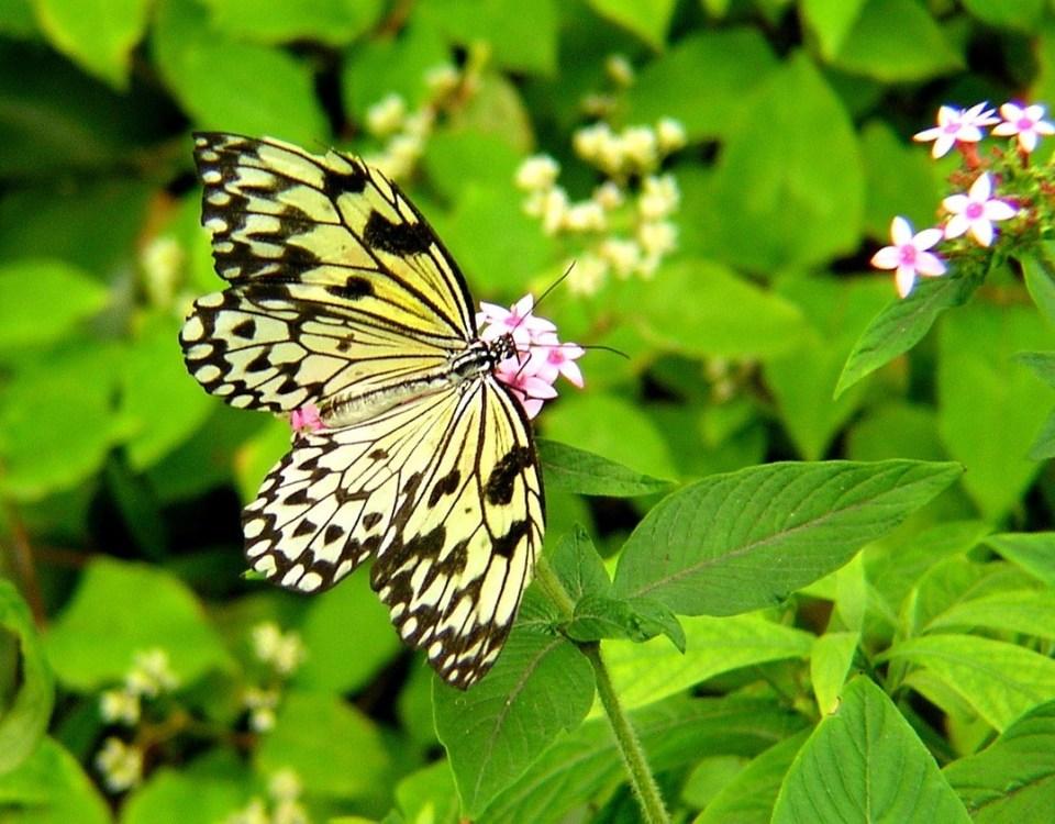 Butterfly-on-Lantana.jpg