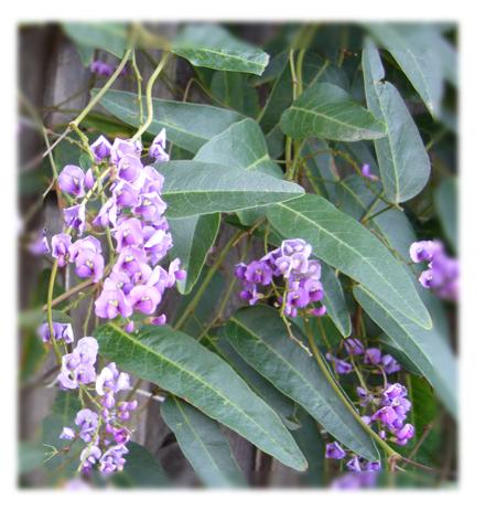 Purple_Vine