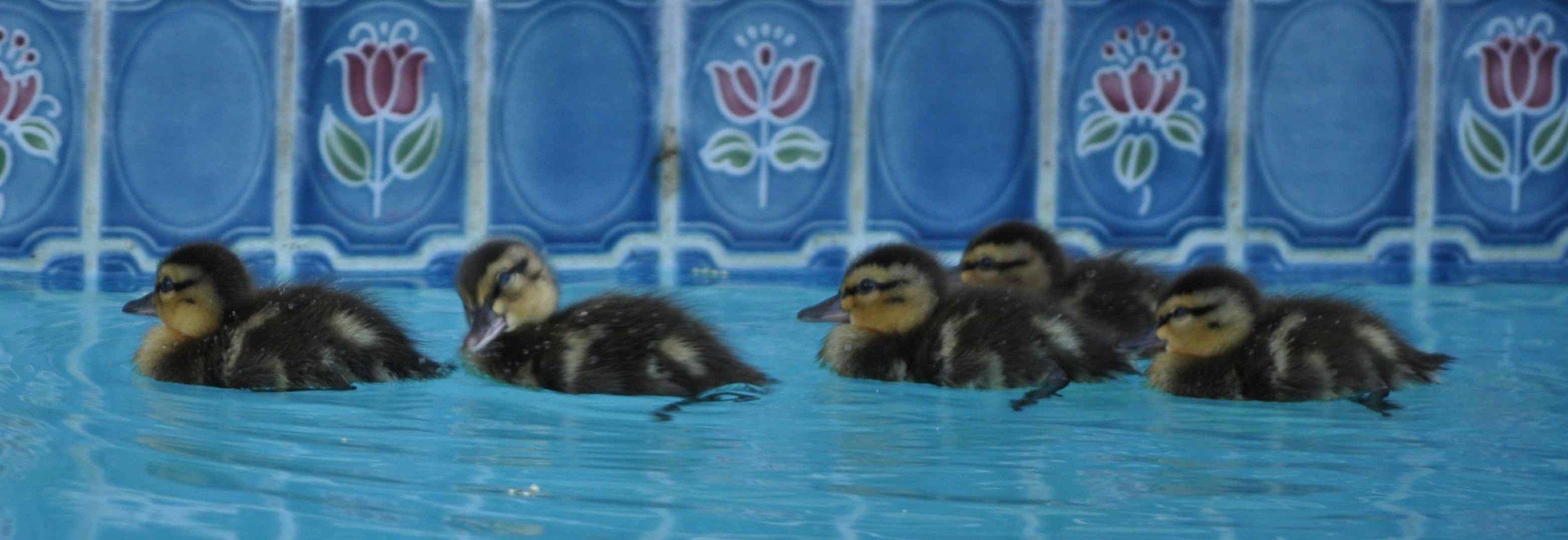5-Ducklings
