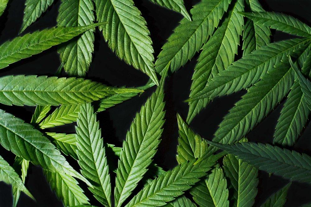 hemp_leaves_L_Bodanza.jpg