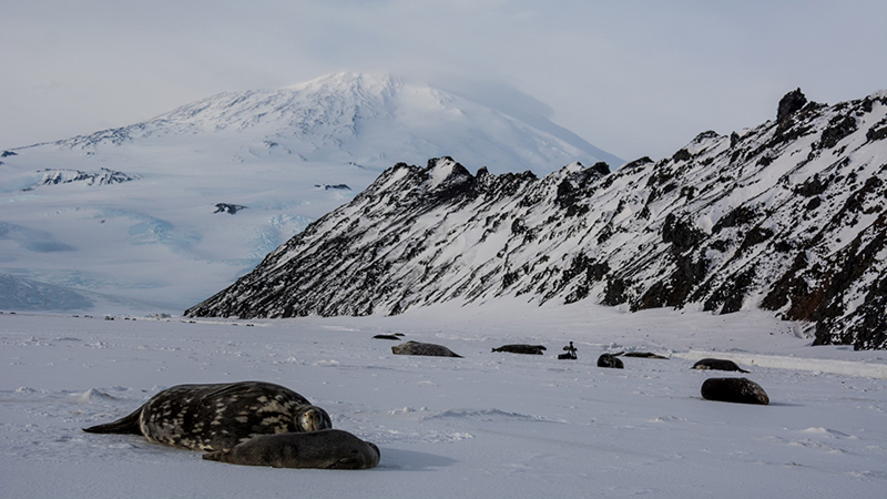 50 Years Of Weddell Seals - Learning How What Scientists Are Still Learning After Studying The World's Southernmost Mammal For Half A Century