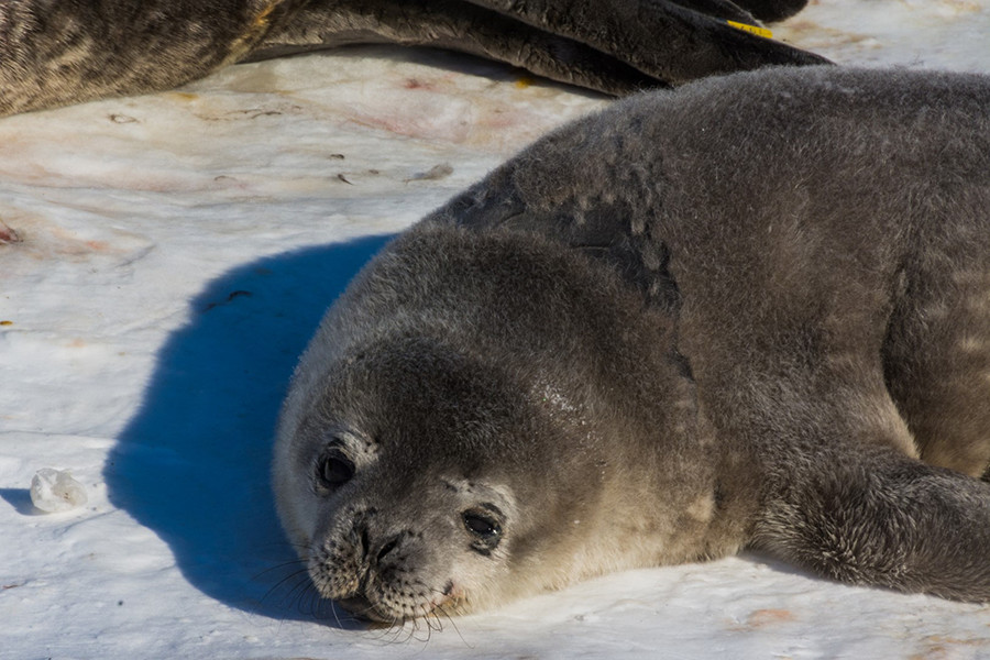 Seals Don't Waste Their Breath - If We Can Understand How They Do It, It May One Day Advance Medicine