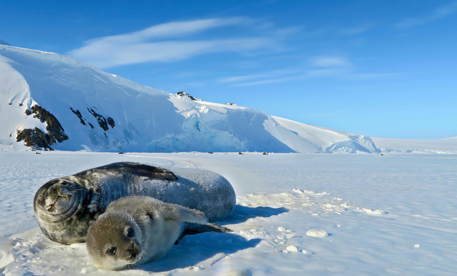 Weighing Seals Without Scales -
