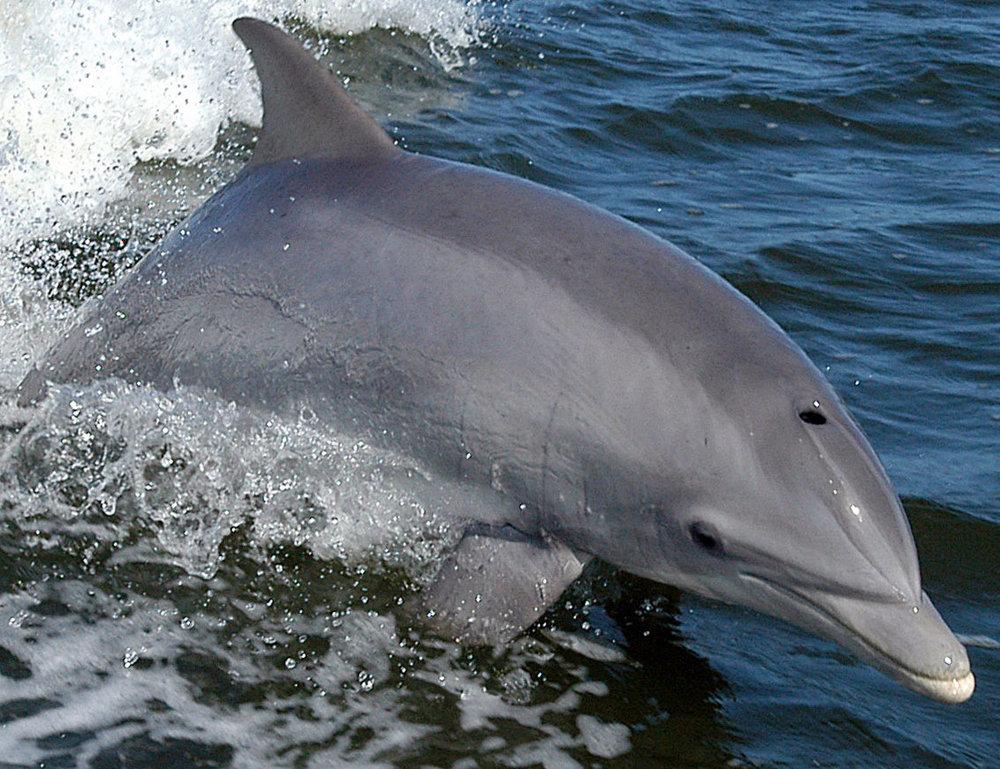 Bottlenose_Dolphin_KSC04pd0178_cropped.jpg