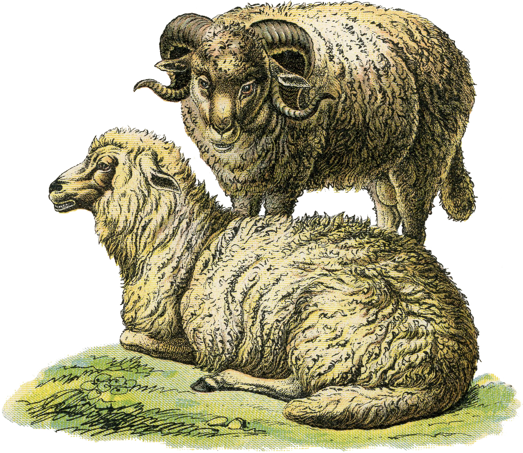 Realistic-Sheep-Illustration-GraphicsFairy