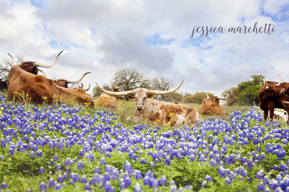 Texas Bluebonnet Longhorns