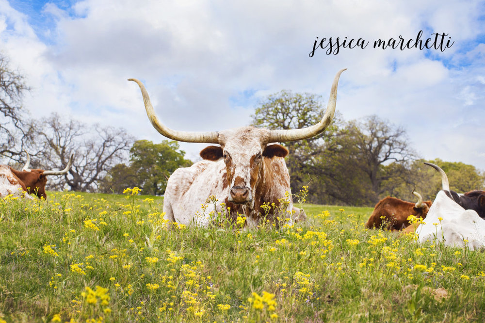 Texas Longhorn in Wildflowers