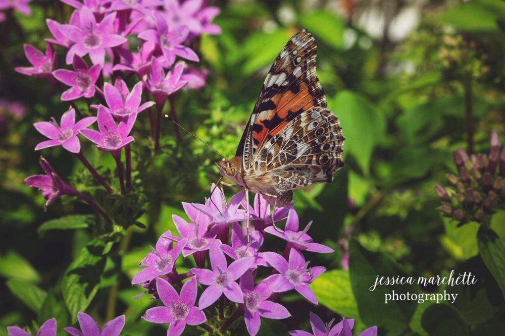 Butterfly-Pentas-13-1024x682.jpg