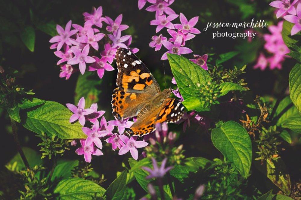 Butterfly-Pentas-4-1024x682.jpg