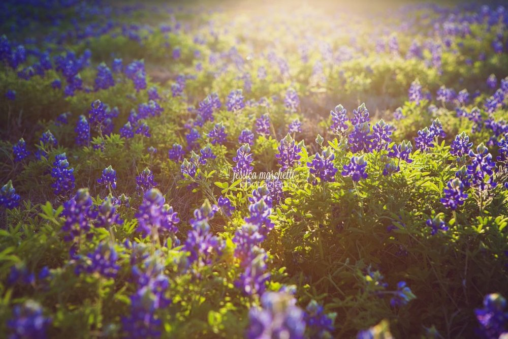 Texas-Bluebonnet-Wall-ARt_0002-1024x683.jpg