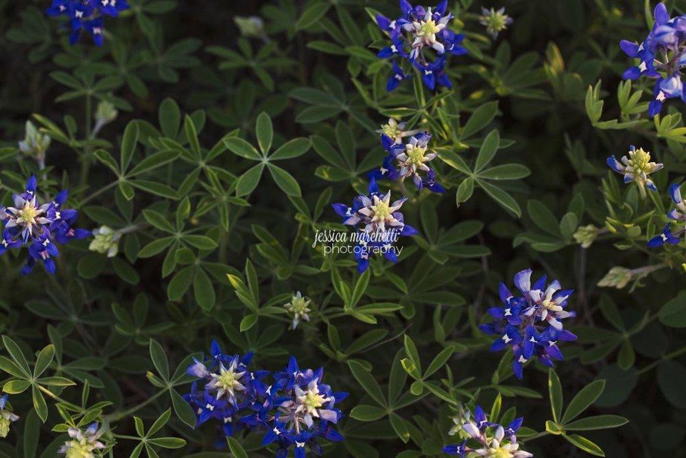 Texas-Bluebonnet-Wall-ARt_0006-1024x683.jpg