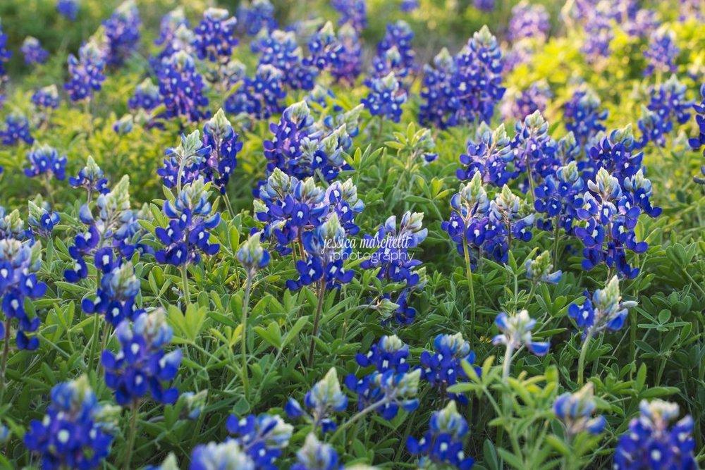 Texas-Bluebonnet-Wall-ARt_0010-1024x683.jpg
