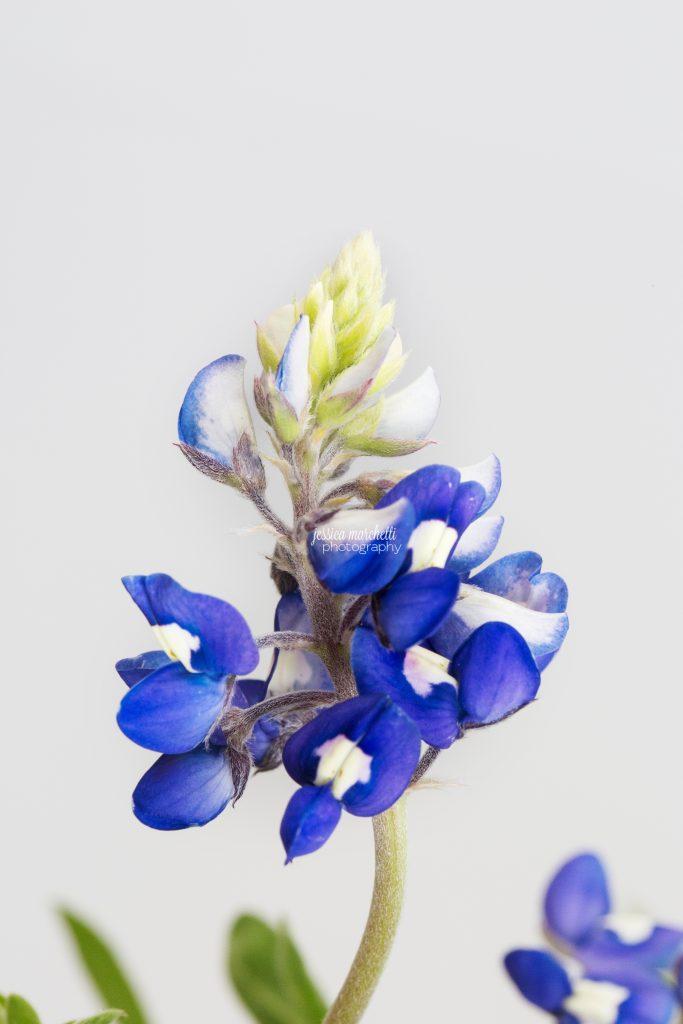 Texas-Bluebonnet-Wall-ARt_0024-683x1024.jpg