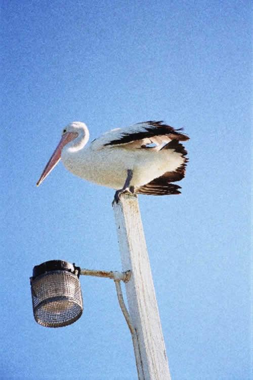 Pelican in Hervey Bay