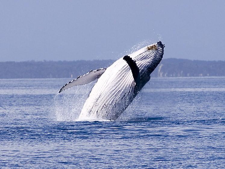 Whale in Hervey Bay