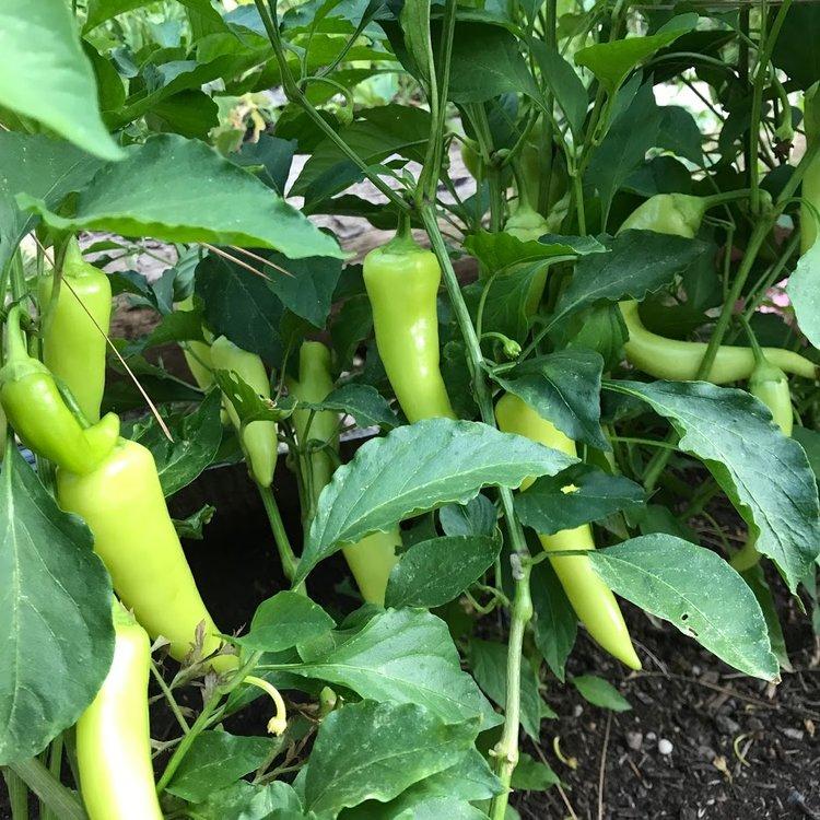 CMAEP+-+peppers.jpeg