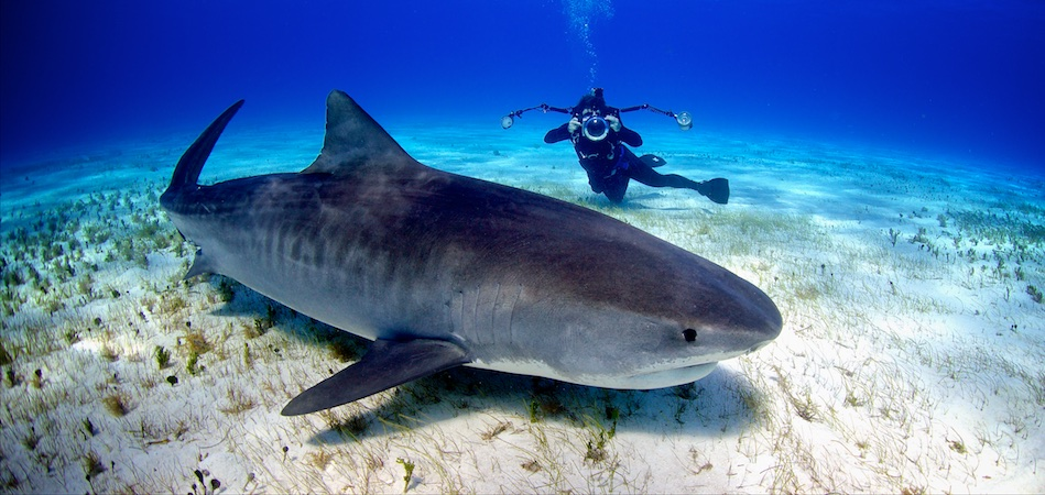 Tiger Beach - Northern Bahamas. If you want to dive with a 1,500 pound tiger shark, then this is the place to do it.