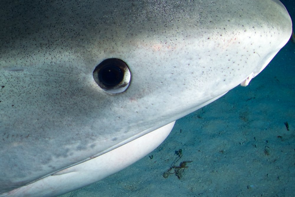 Up close with a tiger shark. Note the white nictitating membrane at the bottom of the eye. When it covers the eye, things are about to get interesting.
