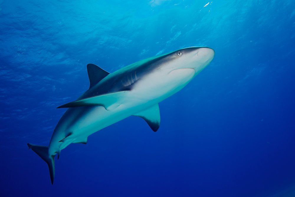 Reef sharks look like underwater jet fighters