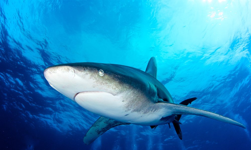 Oceanic Whitetip Sharks - with Epic Diving — Cat Island, Bahamas