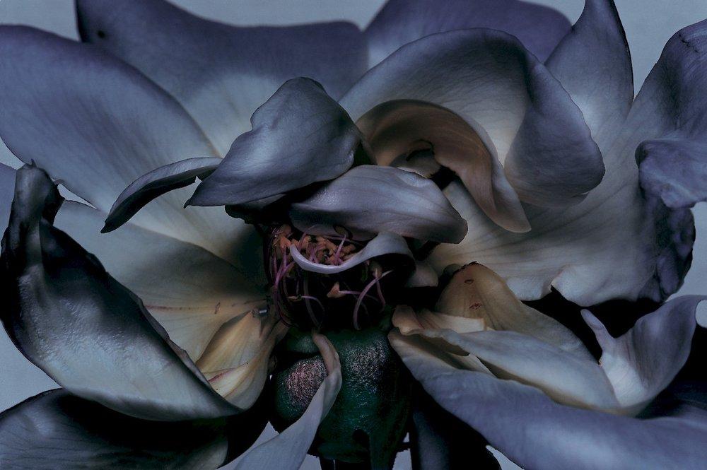 Rose, 2000