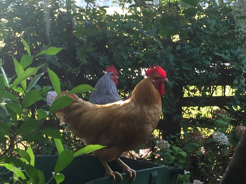 Roosters welcoming the sunrise on a summer's morning.