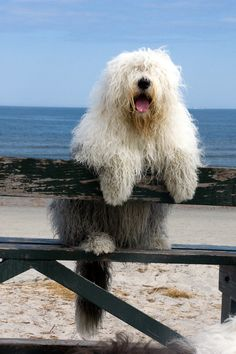 f04ac85f76b72c406af8b5092ca64c9b-old-english-sheep-dog-beach-hair-copy-1.jpg