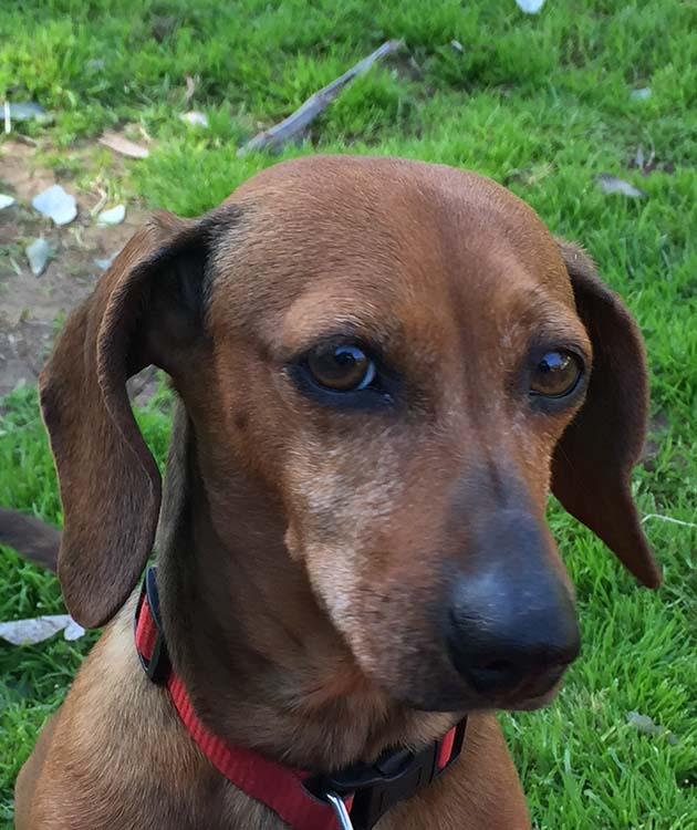 Mollie, my sweet dachshund and lap dog. She is a love. I adopted her from Retrievers and Friends rescue.