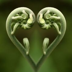 fiddlehead heart
