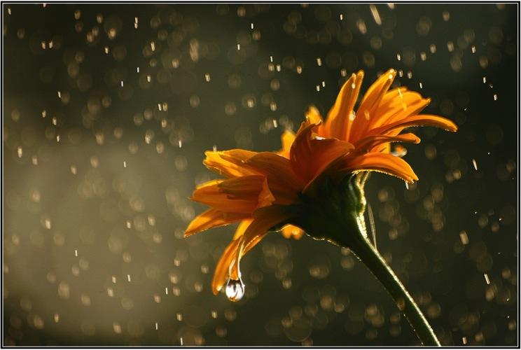 calendula in rain