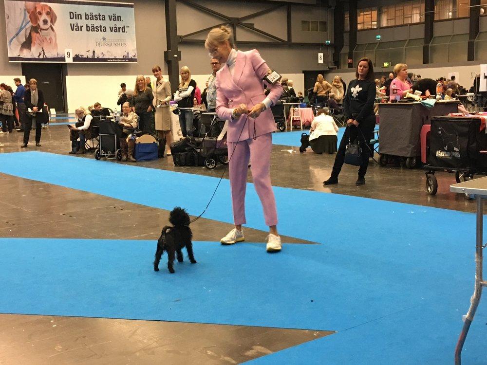 Best of breed puppy Velvet Dandy´s Unity