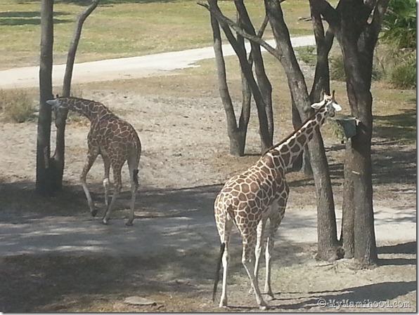 Giraffes_Room