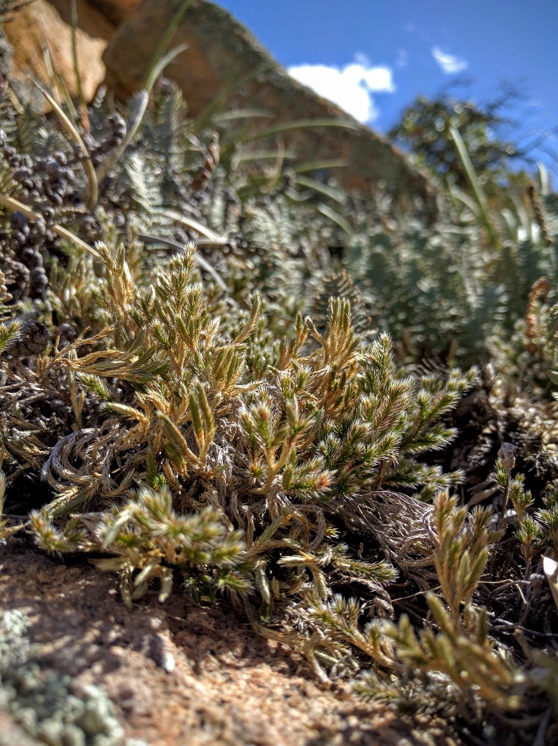 The allotetraploid lycophyte  Selaginella   rupincola  growing among the boulders at Cochise Stronghold in the Dragoon Mountains southeast of Tucson, Arizona. Image credit M. S. Barker.