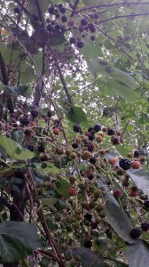 Blackberries2014