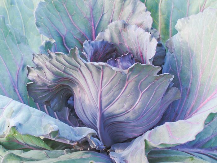 cabbage 2.jpg