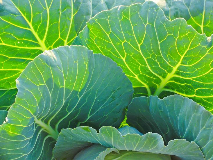 cabbage 6.jpg