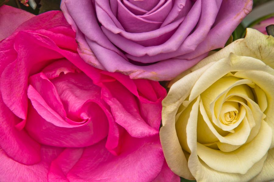 roses 13.jpg