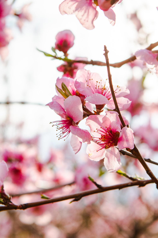 PeachBlossoms.jpg