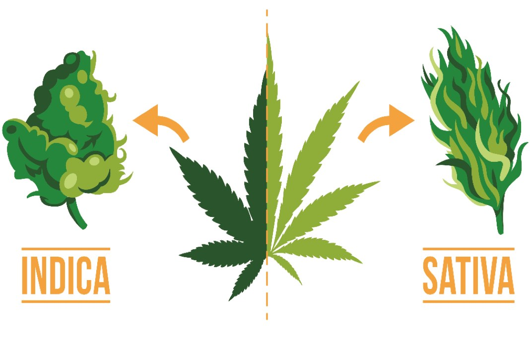 Indica Vs Sativa Maikoh Holistics