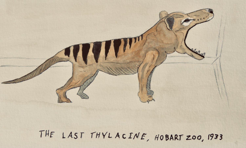 The Thylacine Australia S Premier De Extinction Candidate Natural Curios